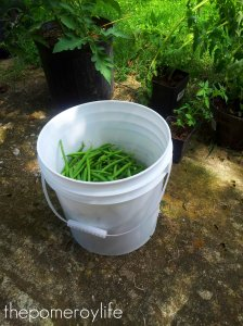 We picked that many green beans every day for a week.  What's worse, mosquitos live in the green bean plants.